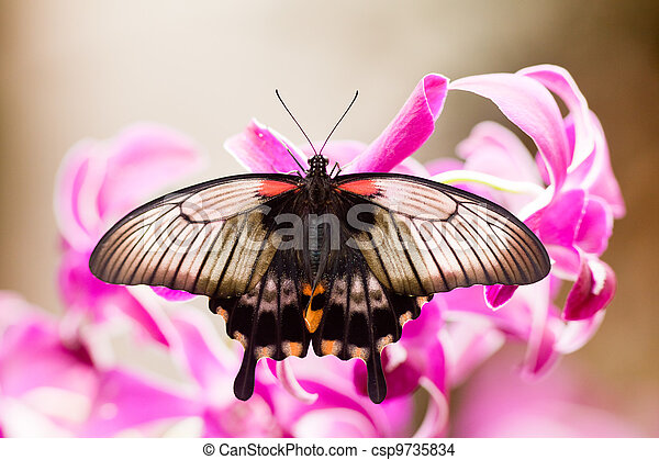 Asian Swallowtail tropic butterfly sucking nectar - csp9735834
