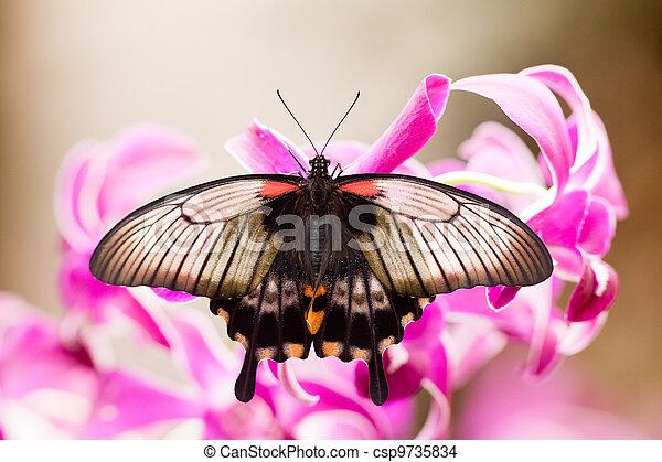 Asian Swallowtail tropic butterfly sucking nectar - csp9735834