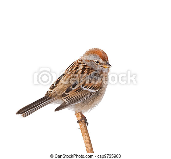 American tree sparrow perching on dry weed, isolated on white. Latin name - Spizella arborea. - csp9735900