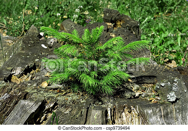 Little pine tree on a decayed stump - csp9739494