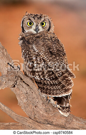 Spotted eagle-owl - csp9740584