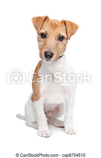Jack Russel Terrier dog - csp9754515