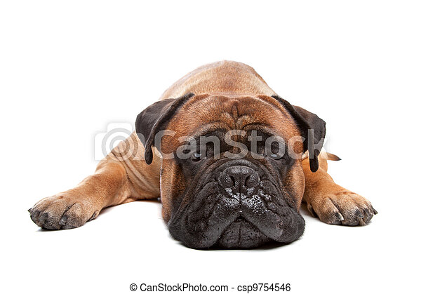Bullmastiff - csp9754546