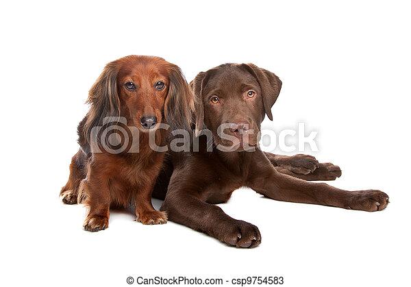 Dachshund and a chocolate labrador pup - csp9754583
