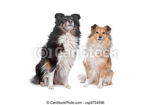 Shetland Sheepdog, Sheltie - csp9754596
