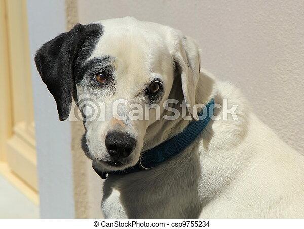 Dalmatian dog - csp9755234