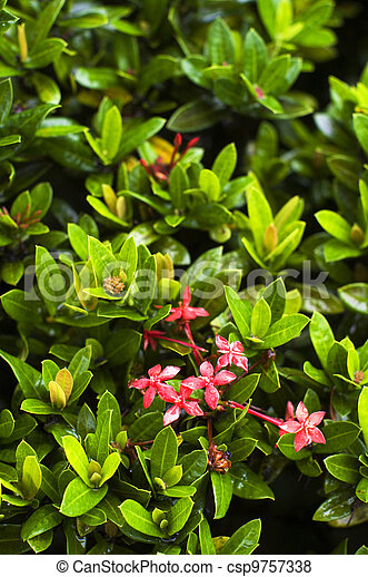 Ixora coccinea, green plant with flowers - csp9757338