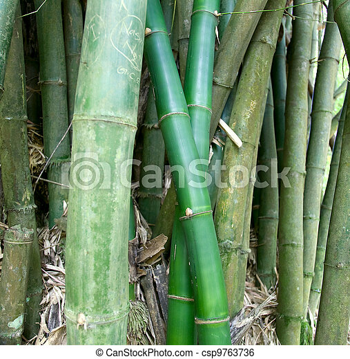 Canes of giant bamboo in the Royal Botanical Gardens - csp9763736