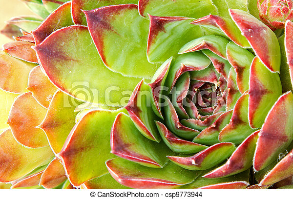 close up of hen and chick or crassulaceae succulent