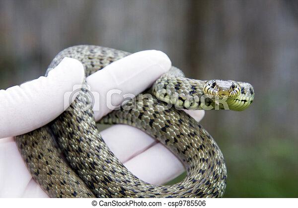 Grass snake - csp9785506