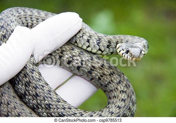 Grass snake - csp9785513