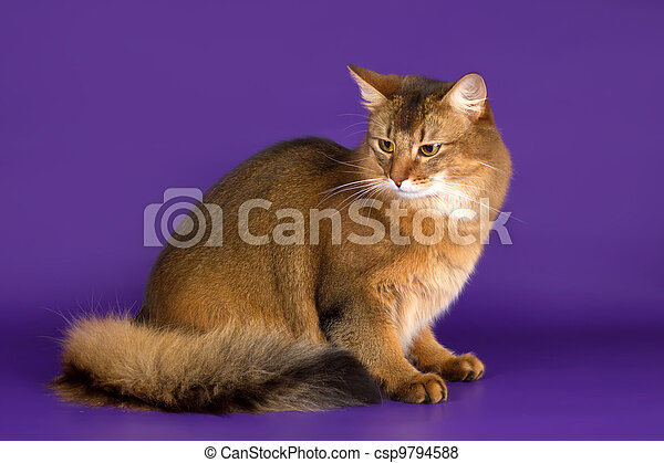 Somali cat on purple background - csp9794588