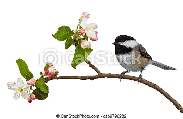 Stock Photo of Apple Blossom Chickadee - Among the flowering ...