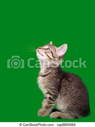 Domestic Tabby Cat Cutout - csp9800064