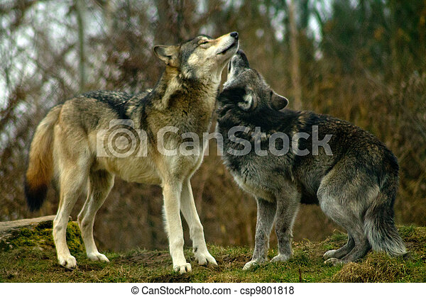 Two wolves kissing. Stock photo - csp9801818