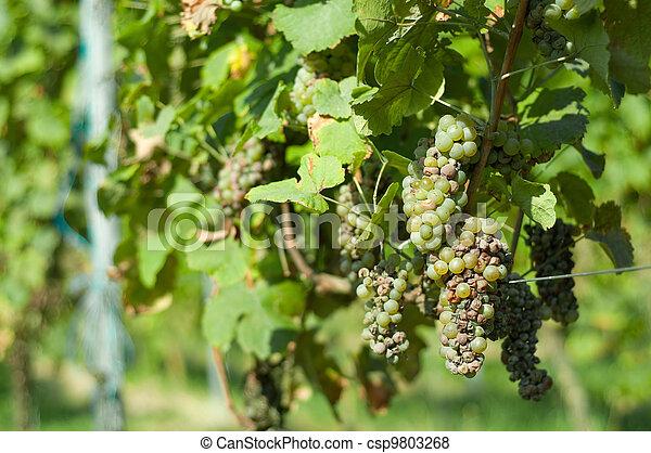 Images de maladie raisin une exemple de raisin - Maladie du raisin photo ...