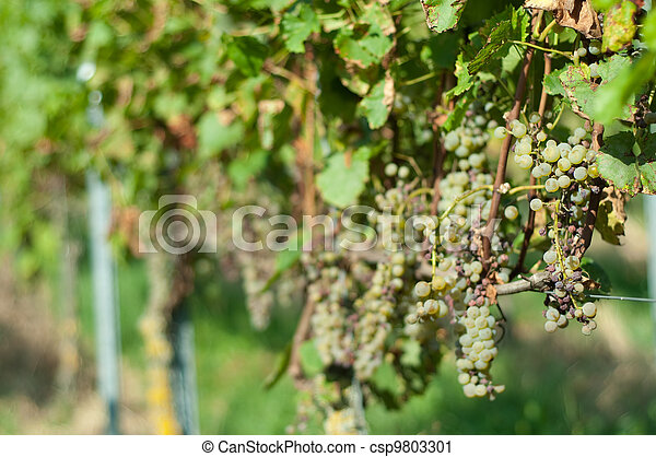 Grape illness - csp9803301