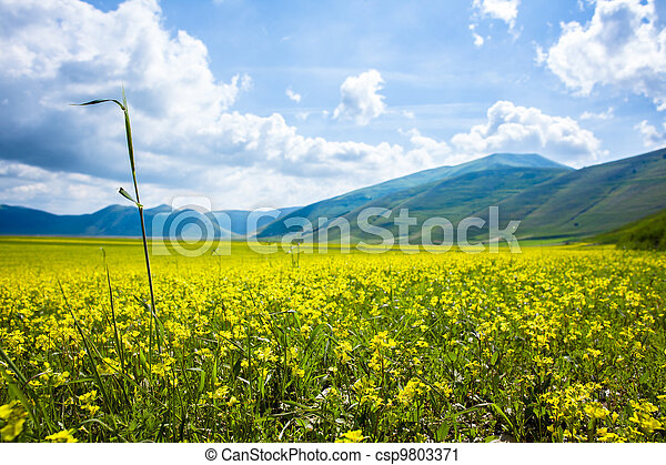 Field with Yellow Lentils Flowers - csp9803371