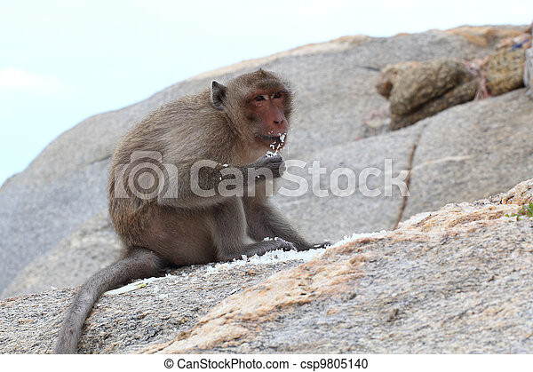 """The crab-eating macaque is a cercopithecine primate native to Southeast Asia. It is also called the """"long-tailed macaque"""", and is referred to as the """"cynomolgus monkey"""" in laboratories. - csp9805140"""