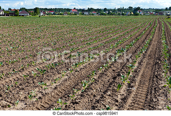 Equal rows of fresh shoots in the field - csp9815941