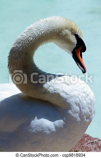 free swan scene - csp9818934