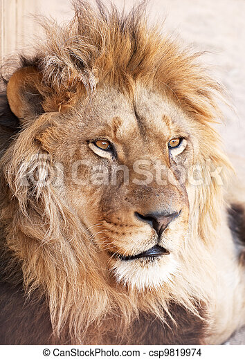 Head portrait of lion animal - csp9819974