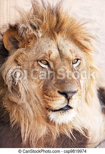 portré, fej, oroszlán, állat - csp9819974