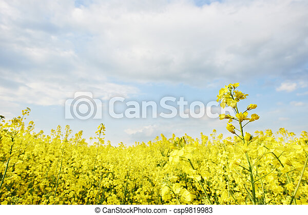 cultivated agriculture field of rape - csp9819983