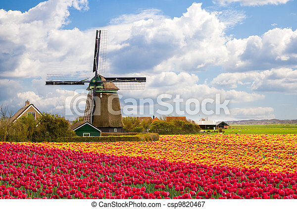 Windmill with tulip field - csp9820467