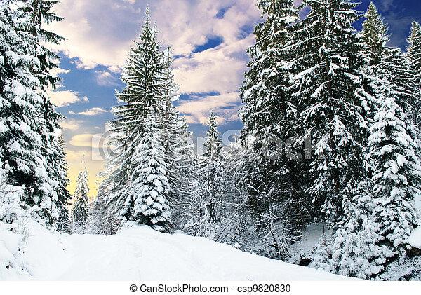 Winter fir-tree forest - csp9820830