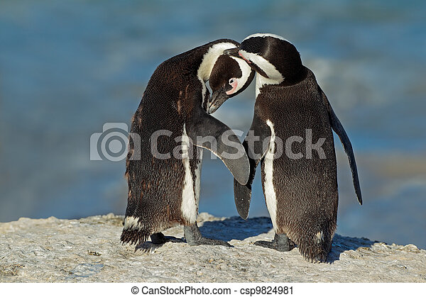 African penguins - csp9824981