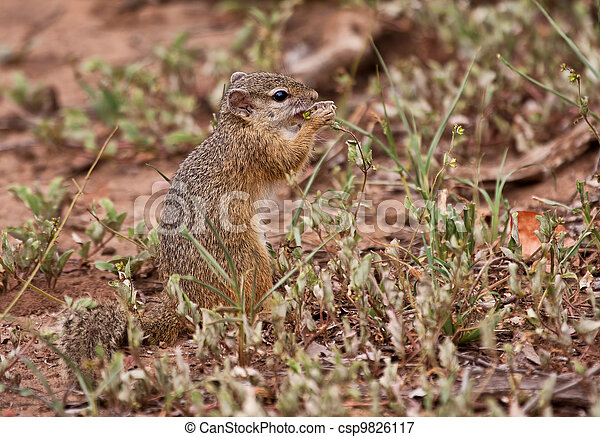 Squirrel eating grass seeds - csp9826117