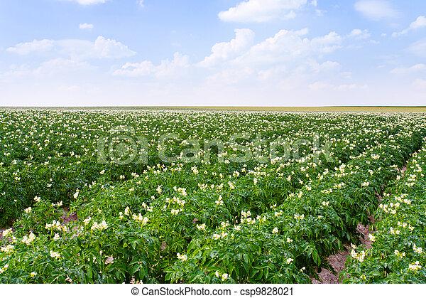 flowers of potato plant - csp9828021
