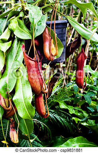 The Tropical pitcher plant (nepenthes)  - csp9831881