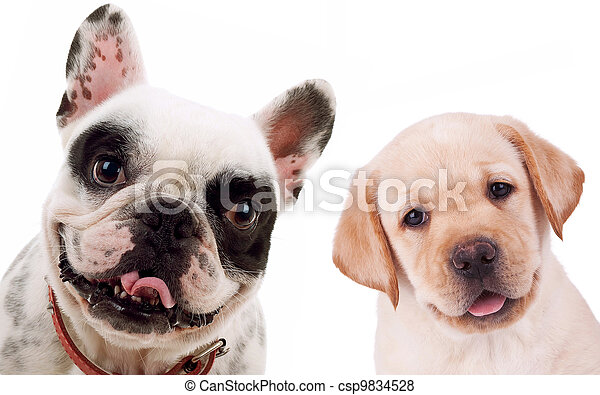 labrador retriever  and french bull dog puppy dogs - csp9834528