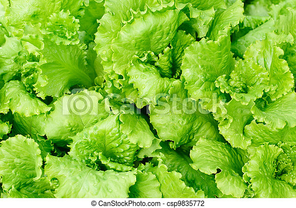 fresh salad lettuce background - csp9835772