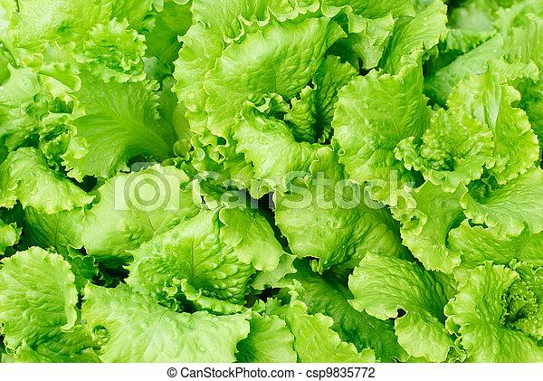 fresh salad lettuce background  - csp9835772