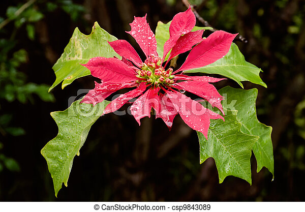 Raindrops on a Poinsettia - csp9843089