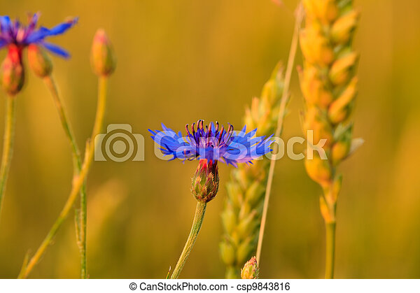 cornflower in wheat - csp9843816