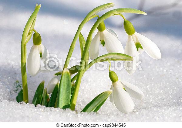 primavera, flores,  Snowdrop - csp9844545