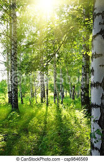 summer birch woods with sun - csp9846569