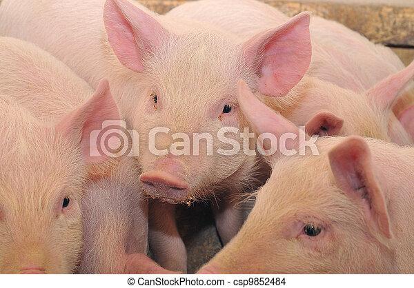 Pigs - csp9852484