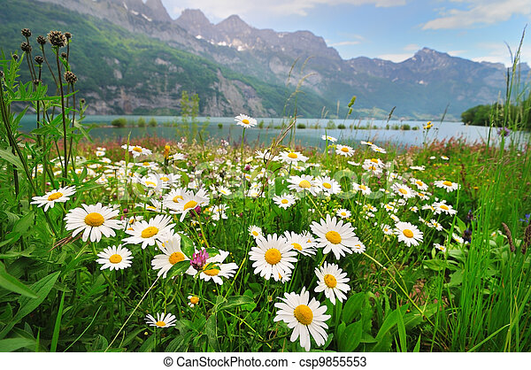 Daisy flowers near the Alpine lake - csp9855553