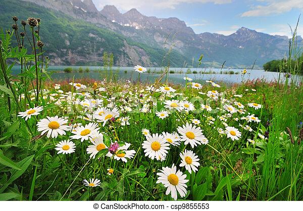 Daisy flowers near the Alpine lake - csp9855553