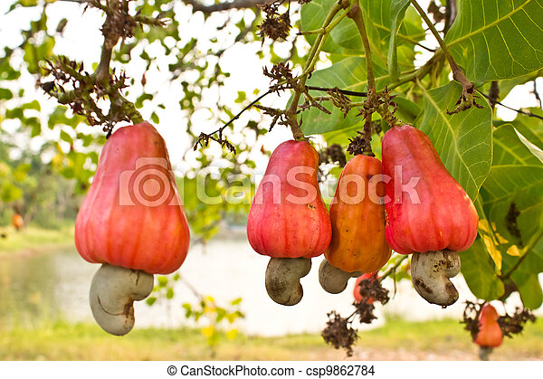Cashew nuts growing on a tree  . - csp9862784