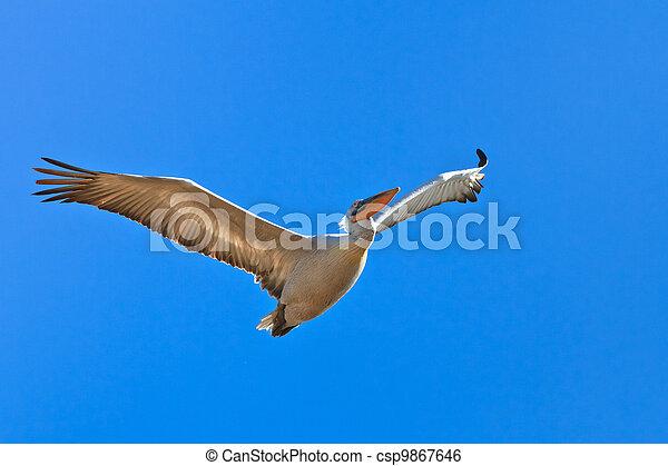 Dalmatian Pelican (Pelecanus crispus) - csp9867646
