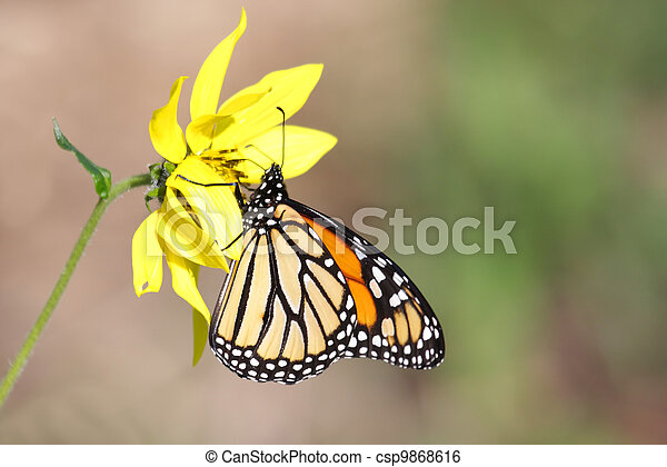 Monarch Butterfly (danaus plexippus) on Woodland Sunflowers - csp9868616