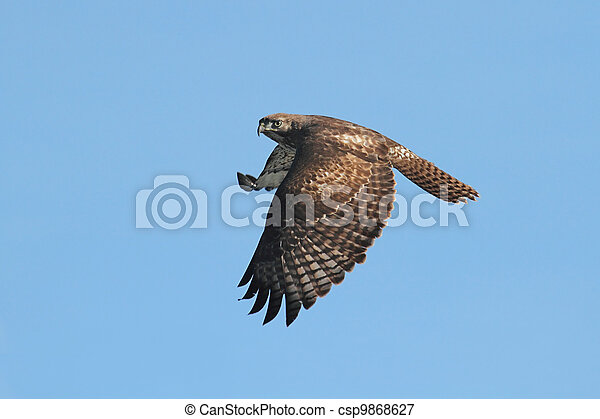 Red-tailed Hawk - csp9868627