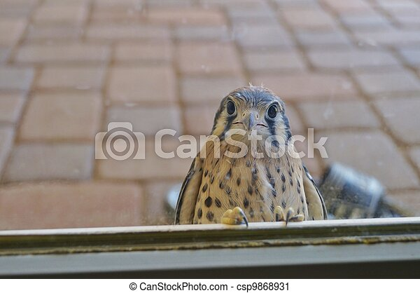 Wild young falcon at glass door - csp9868931