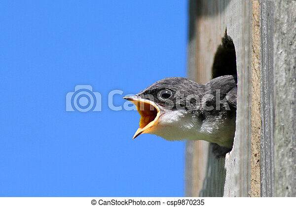 Baby Tree Swallow Begging For Food - csp9870235